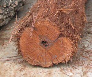 Hairy Oak2