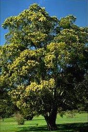 australian-blackwood-tree