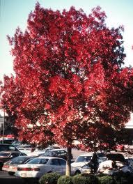 Red Ash Tree