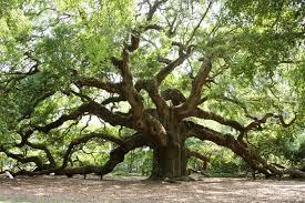 Bakers Oak