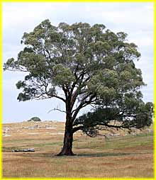 yellow-box-tree
