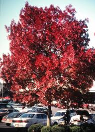 Red Ash Tree
