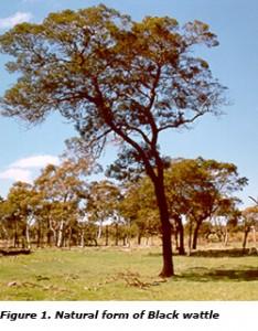 Aust. Black Wattle