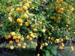 Bush lemon