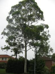 Red Lancewood A