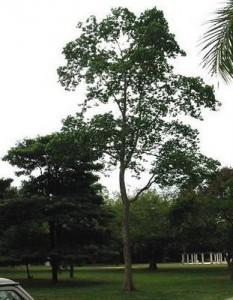 merbau tree
