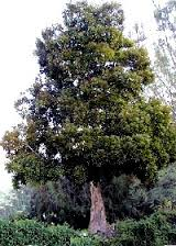 Tasmainian Blackwood2