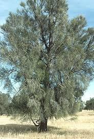 Bull Oak
