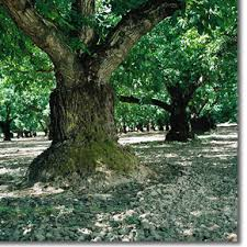 Wenge Tree