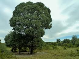 Brigalow tree