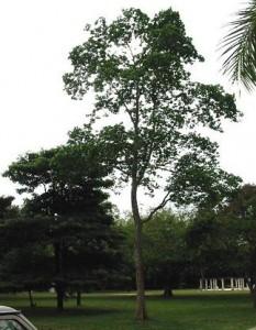 Kwila Tree