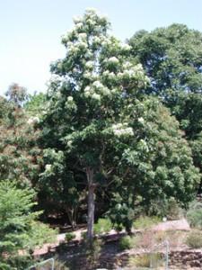Queensland Maple