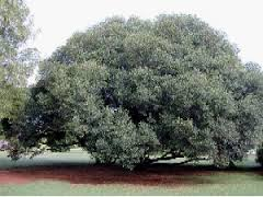 African Wild Olive