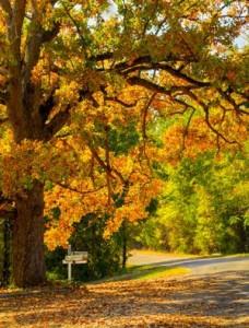 American Oak Tree