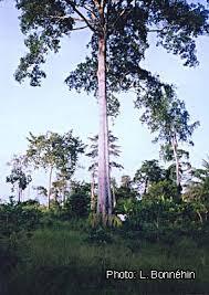 Makore tree